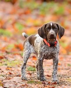 How To Train A Pointer Puppy - Goldenacresdogs.com