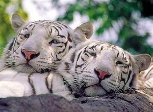 Tigre blanco wallpaper - Imagui