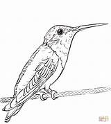 Coloring Hummingbird Ruby Throated Printable Hummingbirds Categories sketch template