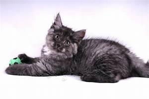 Siberian Cat and Kitten Colours