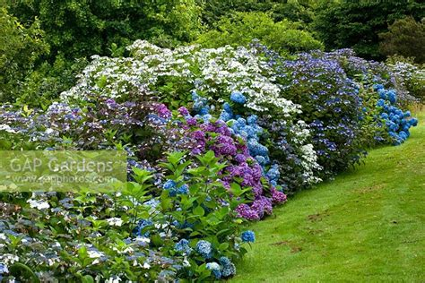 hydrangea border garden gap gardens hydrangea border at the top of the garden marwood hill devon image no 0551060