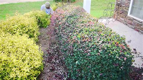 trimming bushes learn how to trim your shrubs and hedges professionally