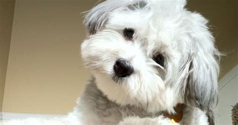 lovely pups and cats top 10 dog breeds that don t shed