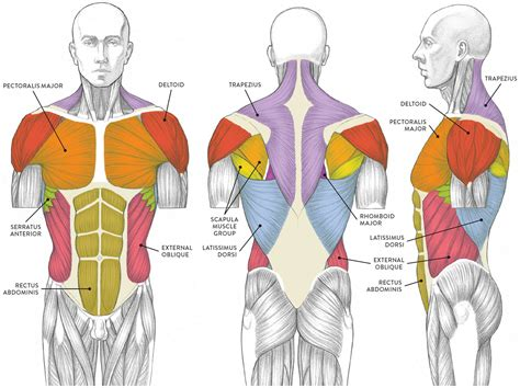Muscle is a tissue in animal bodies. Muscles of the Neck and Torso - Classic Human Anatomy in Motion: The Artist's Guide to the ...