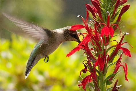 flowers that attract hummingbirds flowers with nectar that attract hummingbirds