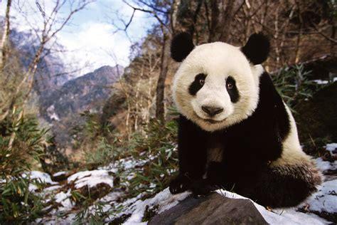 wild panda population  dramatically  china government