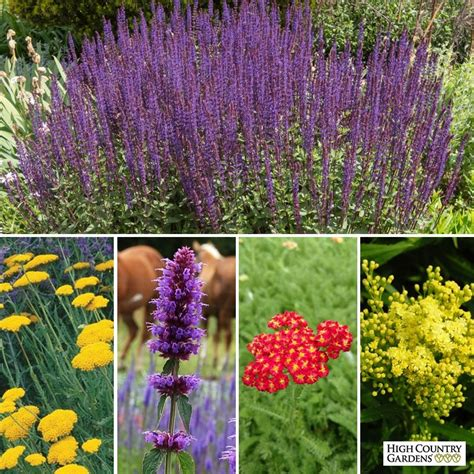 rabbit resistant perennials deer and rabbit resistant collection high country gardens