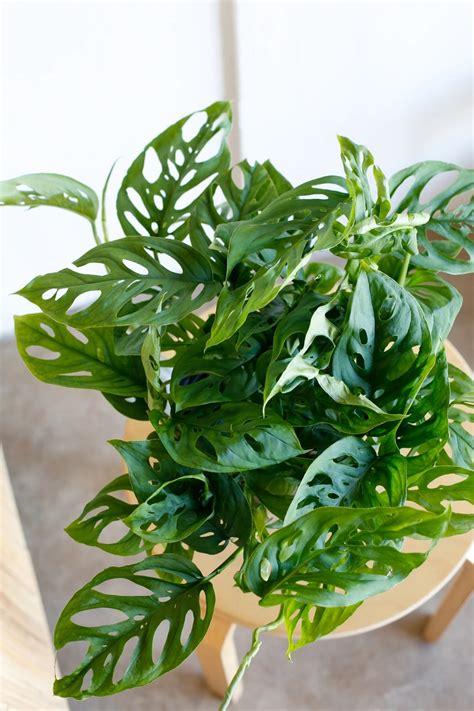 GrowUp | Monstera Adansonii | popular ornamental plant ...