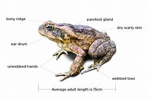How To Identify A Cane Toad
