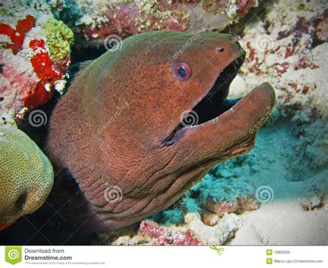 anguille cuisine moray eel in maldives stock image image 19806325