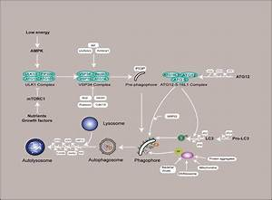 Recent Progress In The Role Of Autophagy In Neurological