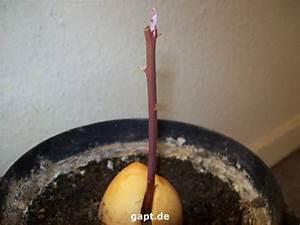 Avocado Pflanze Richtig Schneiden : schnitt bei avocado trieb ~ Lizthompson.info Haus und Dekorationen