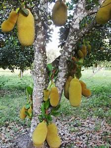 Belize Ag Report   Growing Jackfruit in Belize