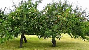 Apfelbaum Schneiden Sommer : apfel gartennatur ~ Lizthompson.info Haus und Dekorationen