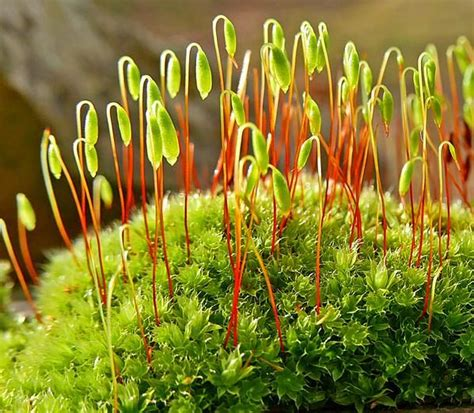 buy moss spores 109 best plantae bryophytes images on pinterest fungi aquatic plants and ferns