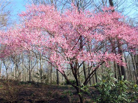 ornamental cherry plum apricot almond home garden