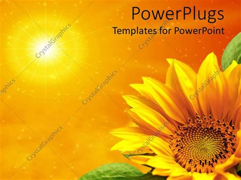 powerpoint template yellow sunflower  green leaves