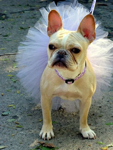 Ee  French Bulldog Ee   Ballerina Flickr P O Sharing