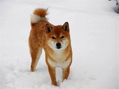 Dog Japanese Breeds Shiba