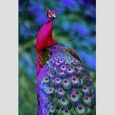 Beautiful peaco...