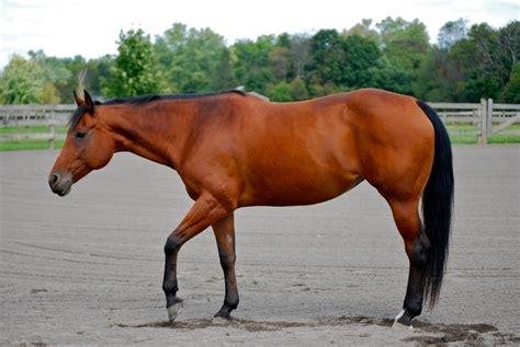 horse barrel racing breeds quarter