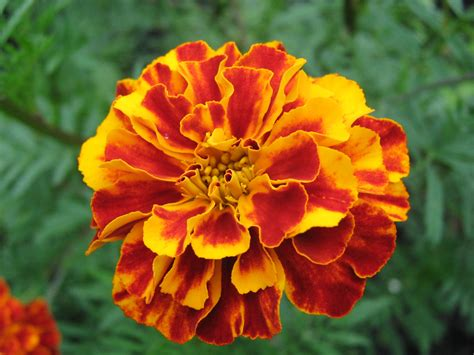 pictures of marigold flowers the dark lady is identified in the sonnets as elizabeth i of england 1 hank whittemore s