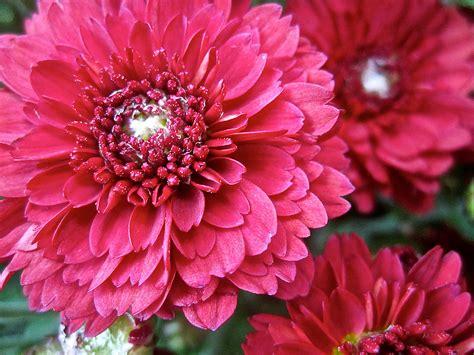 Garten Chrysantheme Kaufen by Garten Chrysantheme Dendranthema 215 Grandiflorum Pflege