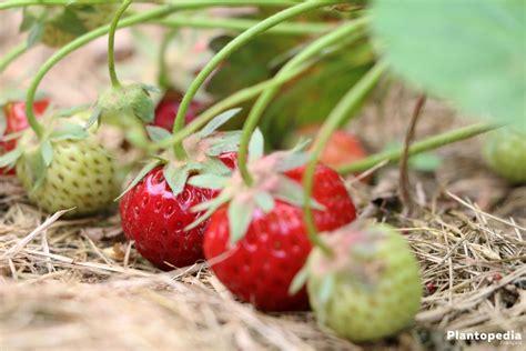 entretien d un fraisier atlub
