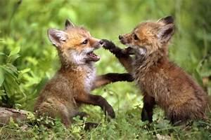 Edge Of The Plank: Cute Animals: Fox Cubs