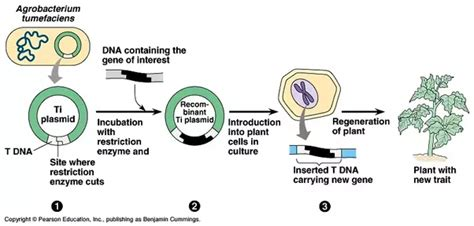 Agrobacterium Ti Plasmid
