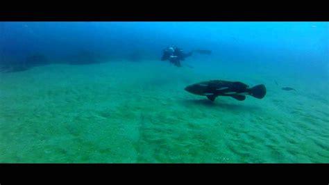 grouper goliath lionfish eating