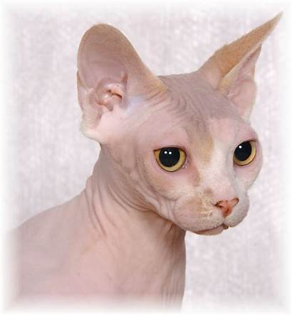 Sphynx Cats Wallpapers Without Cat Sphinx Face