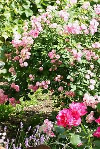Rosen Düngen Im Frühjahr : 6 wege zu gesunden rosen ohne chemie garten pinterest rosen garten und rosen d ngen ~ Orissabook.com Haus und Dekorationen