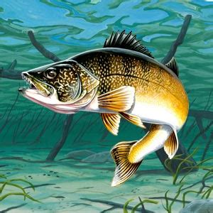 walleye facts information   fishing tips american expedition
