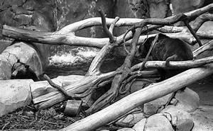 Tronc Bois Flotté : images gratuites bois flott arbre branche noir et blanc tronc zoo monochrome racine ~ Dallasstarsshop.com Idées de Décoration