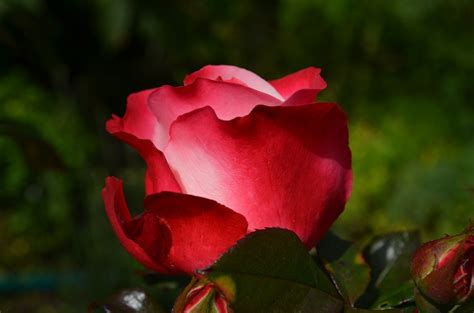 Image result for rose blossoms