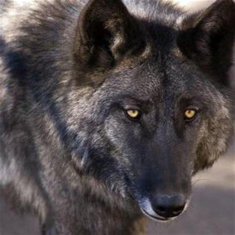 wolf hybrid wolf shepherd hybrid www pixshark com images galleries with a bite
