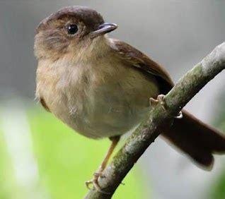 Suara burung flamboyan jantan dan betina gacor full isian di alam liar pikat anakan mp3. Download 63+ Gambar Burung Flamboyan Jantan Dan Betina Keren Gratis