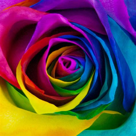 preserved flowers rainbow roses delivery blooms farm direct magnaflor