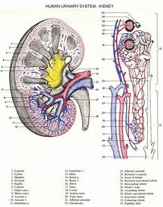 17 Best Images About Urinary System On Pinterest