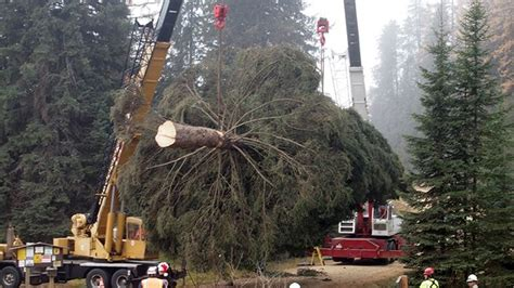 tallest xmas teee in tge workf 25 things you didn t about lifedaily