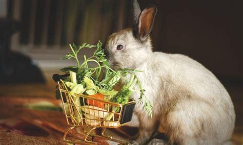 dar de comer   conejo domestico
