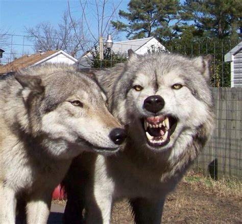wolf hybrid hybrid wolf dog breed information with pictures tail and fur