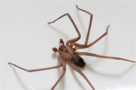 Are There Brown Recluse Spiders In Cleveland Debugged