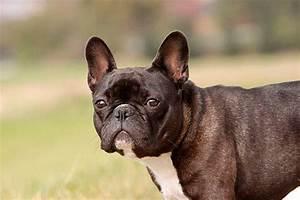 Hundebekleidung Französische Bulldogge : franz sische bulldogge infos tipps z chter bilder video ~ Frokenaadalensverden.com Haus und Dekorationen