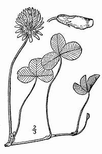Large Image For Trifolium Repens  White Clover