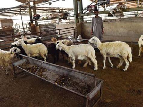 delays  india leads  shortage  animals  uae markets