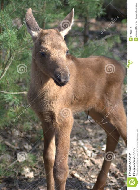 Small Moose Stock Photo Image Of Standing, Tree, Small