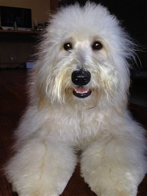 wheaten terrier mix shedding whoodle breed information and pictures wheaten