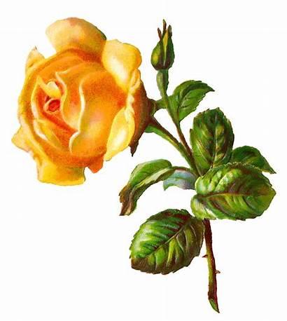 Yellow Rose Flower Digital Clip Printable Clipart